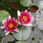 Nymphaea odorata (Water lily)