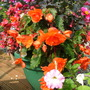 begonias going on and on