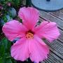 Hibiscus_026