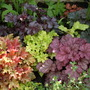 Heuchera Bed