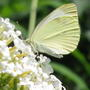 2010_08_15_032cabbage_white