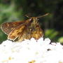 2010_08_15_068.pecks_skipper