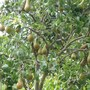 Fruit_trees_plants_001