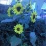 sun flower or flowers?