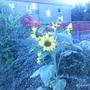 mmmmmmmmmm sun flower