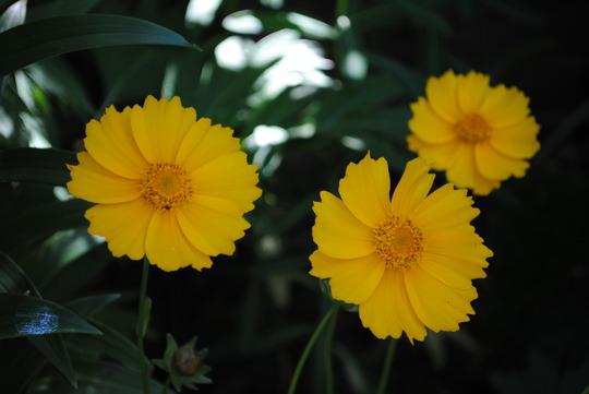 Coreopsis - Mayfield Giant (Coreopsis grandiflora (Coreopsis Sunray))