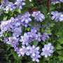 Clematis Blue Light