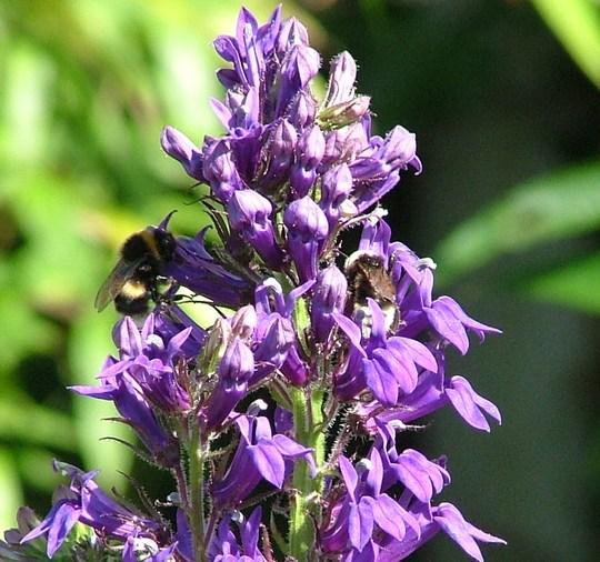 Labelia Siphilitica with bee