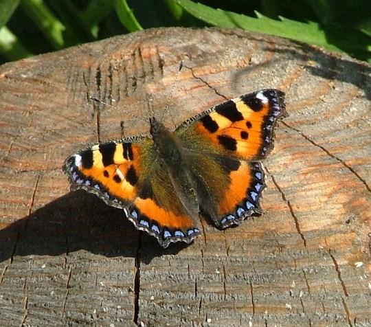 tortoishell butterfly
