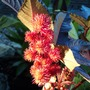Ricinus communis (Castor oil plant)