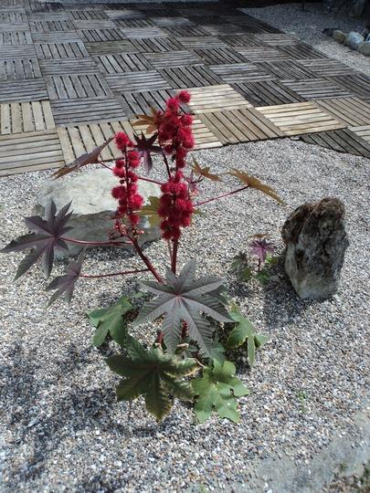 Castor oil plant (Ricinus communis (Castor oil plant))