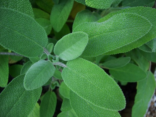 Salvia Officinalis (Salvia Officinalis)