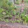 Redoing the front garden (Monarda didyma, Iris criistata, ligularia the rocket,)