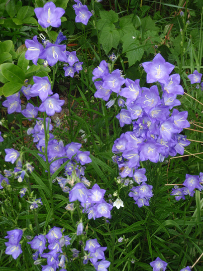 A garden flower photo (Campanula persicifolia 'Telham Beauty')