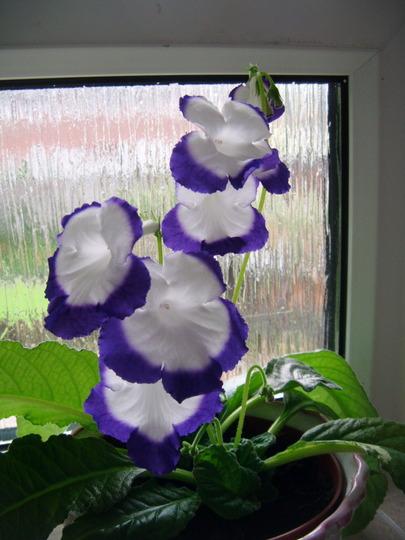 Streptocarpus Roulette azur