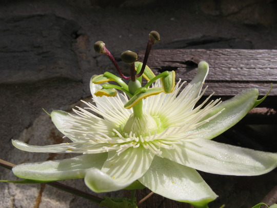 Constance Elliot, Flower No 33
