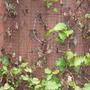 clematis (Clematis armandii)
