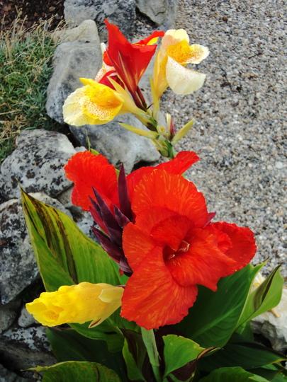 Canna 'Cleopatra' (Canna indica (Indian shot plant))