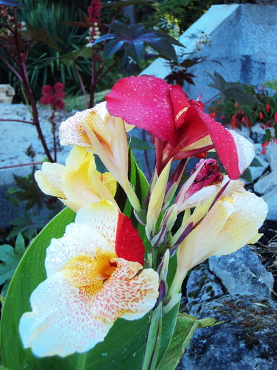 Canna 'Cleopatra' (Canna indica (Indian shot plant))