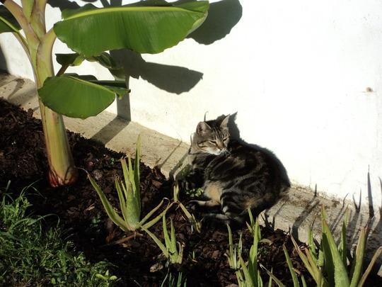 aloe vera (Aloe vera (Aloe))