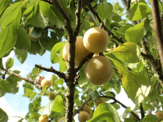 Greengage (Prunus domestica (Plum) ssp. italica)