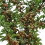 Mirabelle (Prunus domestica (Plum) ssp. syriaca)