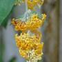 Buddleja Madagascariensis (buddleja madagascariensis)