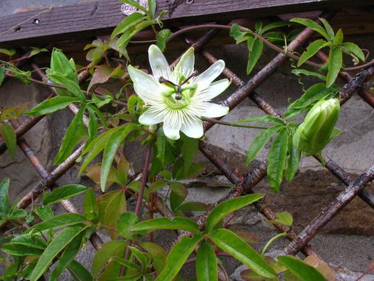 Constance Elliot, Flower No 34