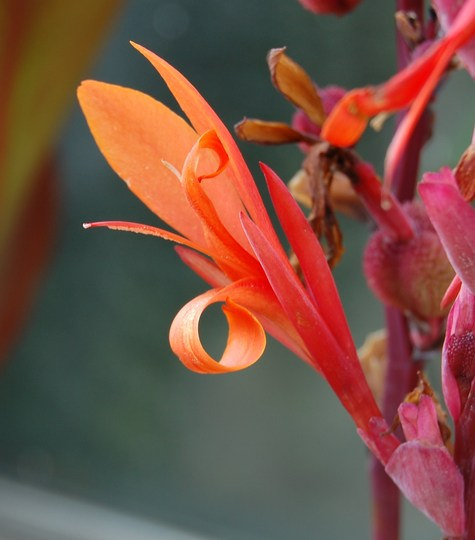 Canna (Canna indica (Indian shot plant))