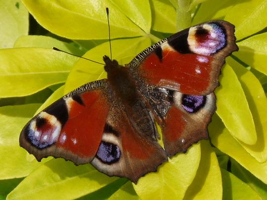 Peacock butterfly  and Choisya (Choisya ternata (Mexican orange blossom))