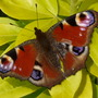 Peacock butterfly  and Choisya (Choisya ternata (Mexican orange blossom))