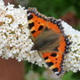 Small Tortoiseshell and white Buddleia (Buddleja davidii (Butterfly bush))