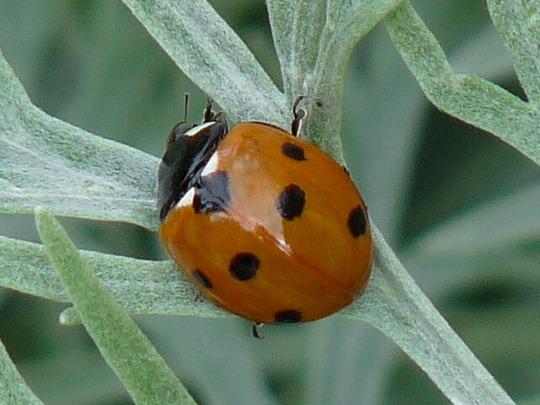 Artemisia and Ladybird (Artemisia  (powis castle))