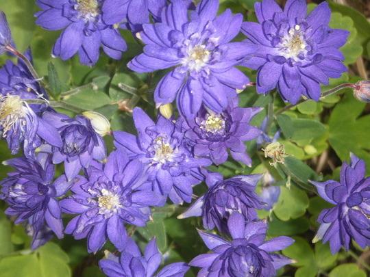 Aquilegia Clemetine Blue
