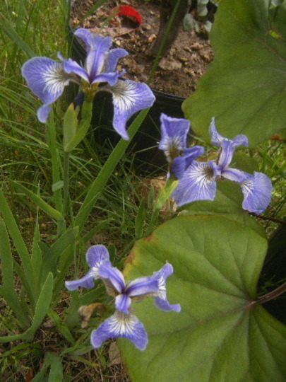 Dwarf Iris setosa