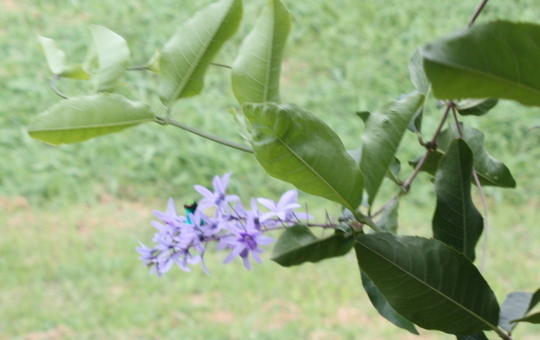 Blue Hummingbird on Lilas Petrea (Lilas Petrea)