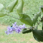 Blue Hummingbird on Lilas Petrea (Lilas Petrea)