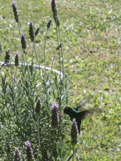 Turqoise Hummingbird Lavender