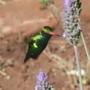 Hummingbird Lavender (Lavendula)
