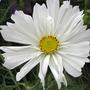 C.bipinnatus_white