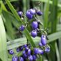 Dianella caerulea (Flax lily) (Dianella caerulea)