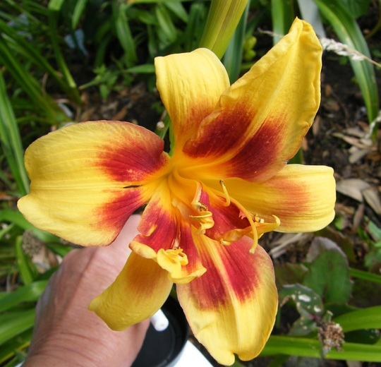 DAYLILY DOUBLE_DRIBBLE_MP.jpg