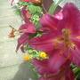 lillies,1