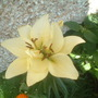 lillies, 2