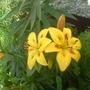 lillies, 4