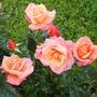 untitled rose