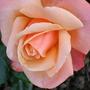 Untitled rose flower again