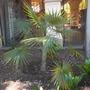 Coccothrinax argentata - Silver Thatch Palm (Coccothrinax argentata - Silver Thatch Palm)