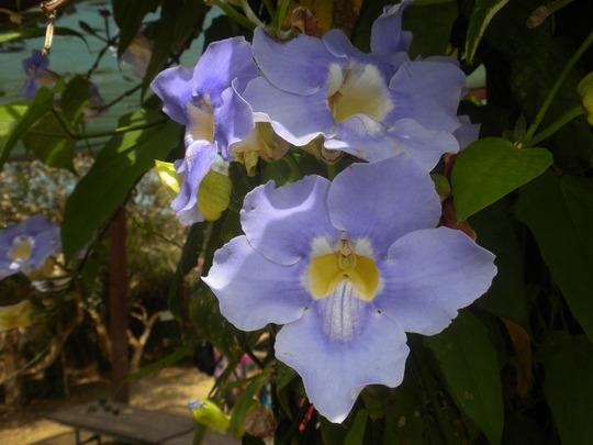 Thunbergia grandiflora - Bengal Clock Vine (Thunbergia grandiflora - Bengal Clock Vine)