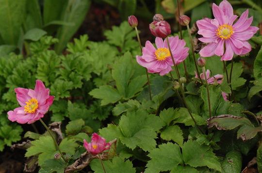 Anemone 'Pretty Lady Emily' (Anemone)